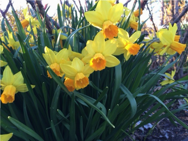 Daffodils 2015